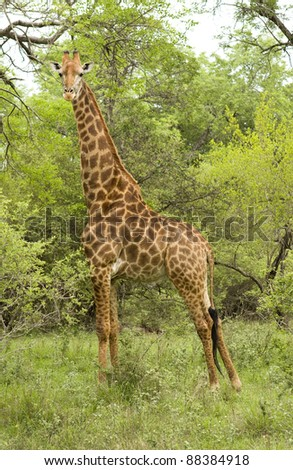 Male giraffe in Kruger park, South Africa - stock photo