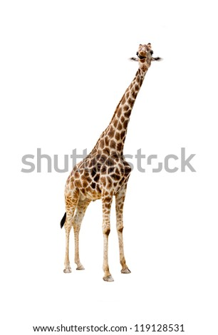 Male giraffe isolated on white background sticking out tongue