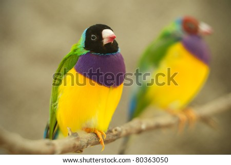 MALE GOLDEN FINCH SITTING ON A BRANCH AND OUT OF FOCUS FEMALE  - stock photo