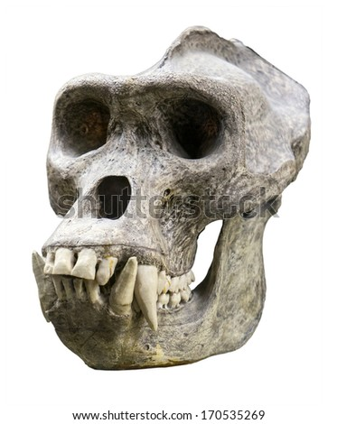 Male gorilla skull isolated on white - stock photo