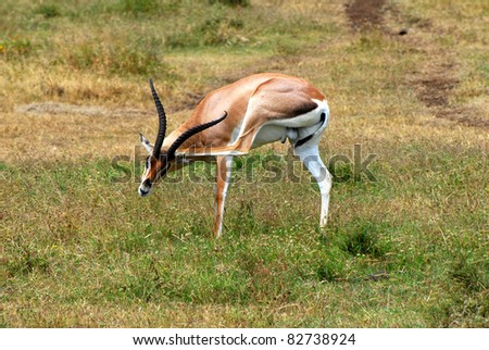 Male Grant's Gazelle - stock photo