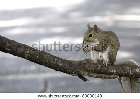 Male gray squirrel eating an acorn on a tree branch in the wild - stock photo