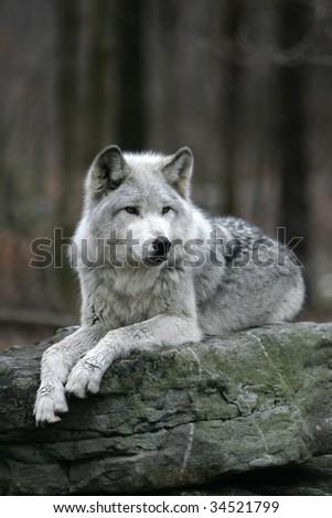 Male Gray Wolf - stock photo