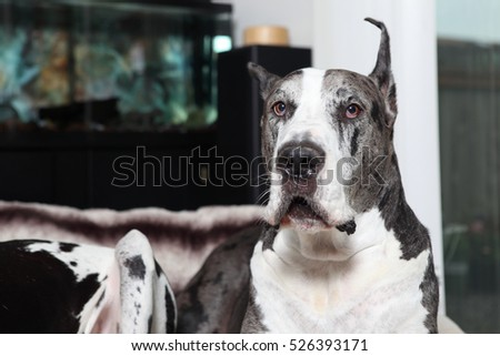 Male Great Dane in a home.