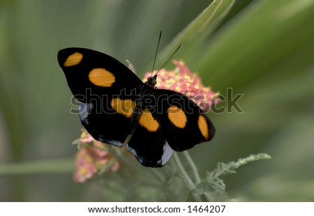 Male Grecian Shoemaker Butterfly - stock photo