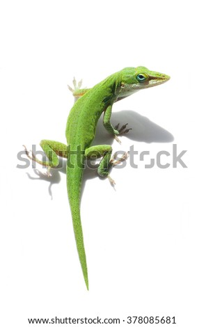 Male Green Anole Lizard on White  - stock photo