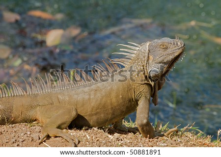 Male green iguana basking in the sun by a pond in the Guanacaste province of Costa Rica.