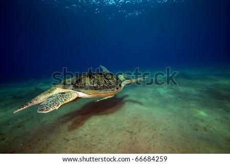 male green turtle. - stock photo