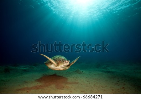 male green turtle. - stock photo
