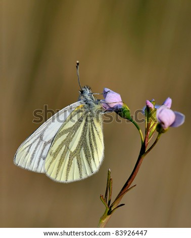 Male Green veined White, butterfly (Pieris napi), on the Cardamine Pratensis (Cuckooflower) with a soft background