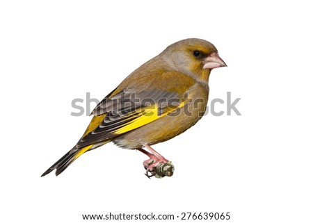 Male greenfinch isolated on white background - stock photo