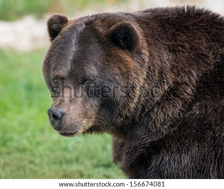 Male grizzly bear portrait - stock photo