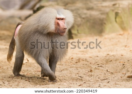 Male hamadryas baboon is walking on the ground - stock photo