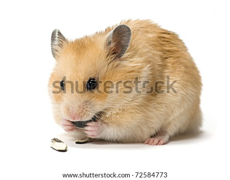 Male hamster eating sunflower seeds over white background.