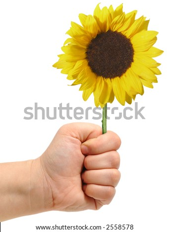 male hand and sunflower