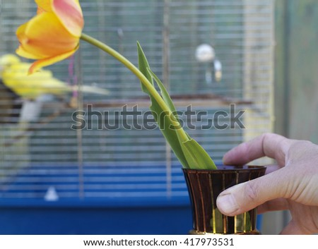 Male hand arranging a vase with a beautiful tulip on a table, a bird cage with a yellow budgie in the blurred foreground. Selective focus cropped shot