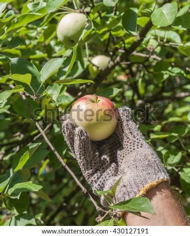 Male hand harvest of apple - stock photo