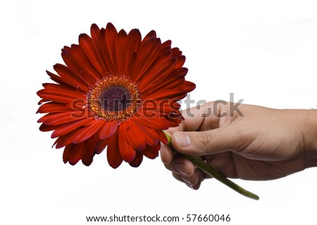 Male hand holding a red flower. Isolated on white background.