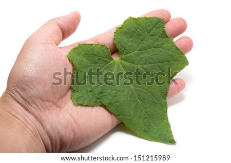 Male hand holding cucumber leaf with care on white background
