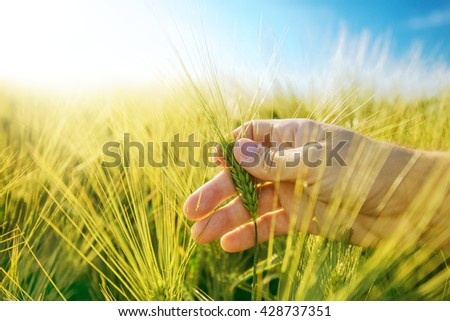 Male hand in barley field, responsible farming and dedicated agricultural production, crop protection and growth control, selective focus. - stock photo
