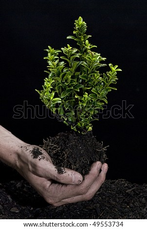 Male hands holding a small tree. Hands are dirty. - stock photo