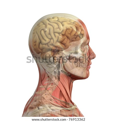 Male head with skull and brain showing through transparent muscles. - stock photo