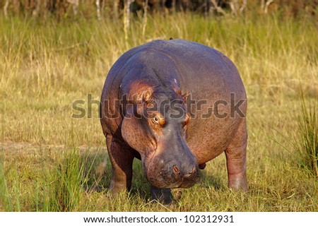 Male Hippo standing on the riverbank - stock photo
