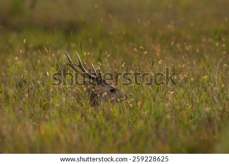 Male hog deer resting on grass field background, Phukhieo Wildlife Sanctuary, Thailand - stock photo