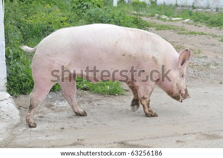 Male hog of breeds Great White on the walk - stock photo