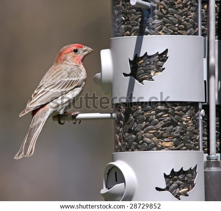 Male House Finch at feeder - stock photo