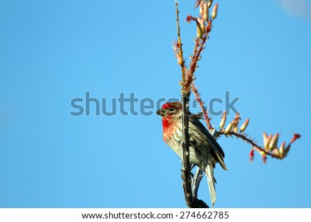 Male House Finch in breeding plumage perched on a flowering Ocotillo cactus - stock photo