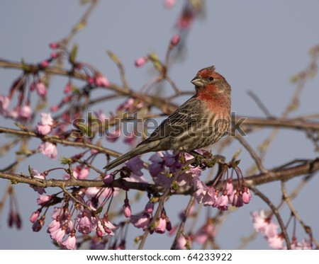 Male House Finch in Weeping Cherry Tree (Carpodacus mexicanus) - stock photo