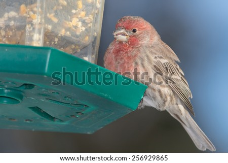 Male House Finch perched on a bird feeder. - stock photo