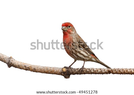 male house finch proudly perched on a branch; white background - stock photo