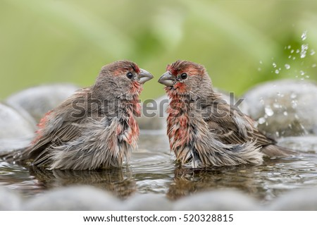 Male House Finches in Bird Bath on Louisiana Autumn Day
