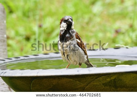 Male house sparrow in a bird bath.