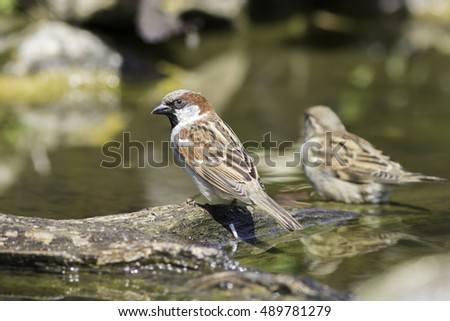 Male house sparrow (Passer domesticus) sitting on a log in water.