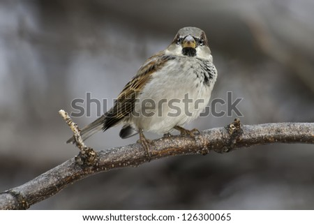 Male House Sparrow perched on a branch.