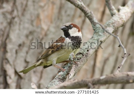Male house sparrow perched on a tree branch. - stock photo