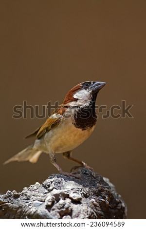 Male House Sparrow perched on rock; Passer domesticus - stock photo