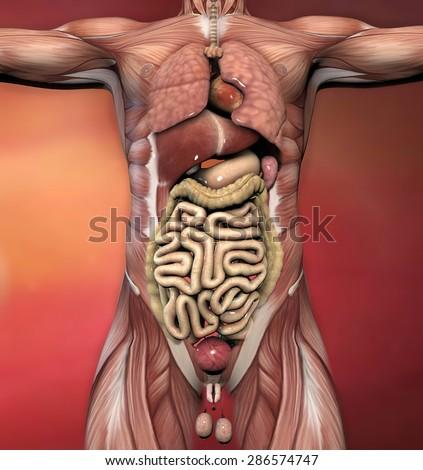 male anatomy organs
