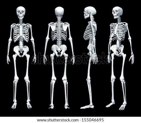 Male Human skeleton, four views, front, back, side and perspective. Scientifically correct, photo realistic 3-D rendering. Clipping path included