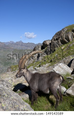 male ibex majestic Alps in the national park of great paradise