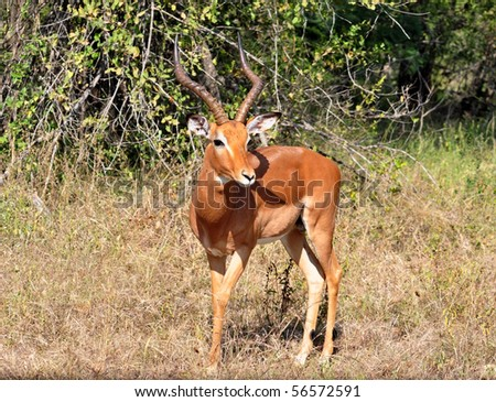Male Impala Antelope (Aepyceros Melampus) in the Kruger Park, South Africa.