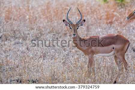 Male impala antelope, Kruger National Park, South Africa - stock photo