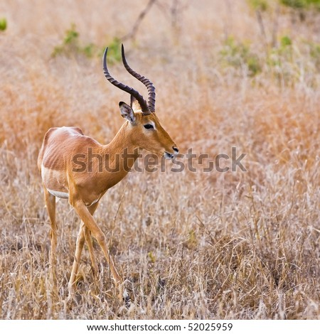 Male impala antelope, Kruger National Park, South Africa