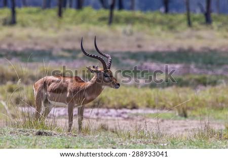 Male impala antelope, Lake Nakuru National Park, Kenya - stock photo