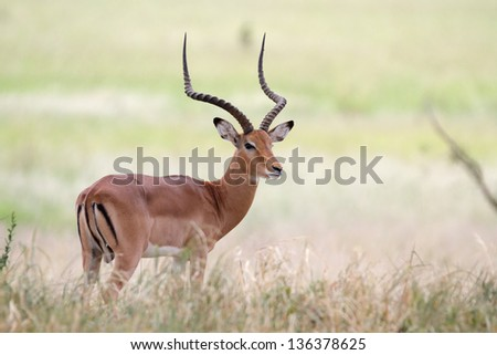 Male impala antelope standing on shaded grass - stock photo