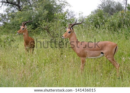 male impala gazelle horns mammal African savannah kruger national park south africa