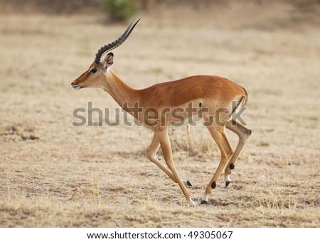 Male Impala running in the Masai Mara National Park - stock photo